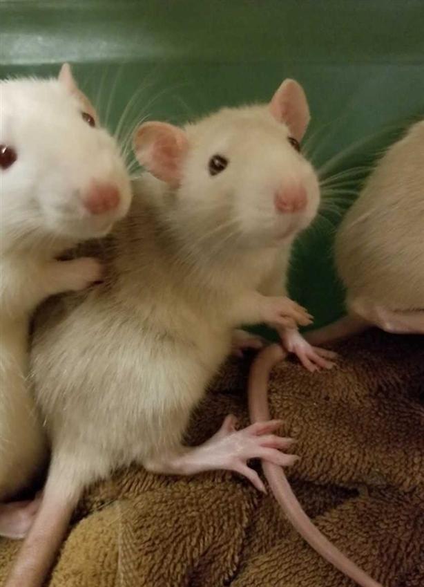 George - Rat Small Animal