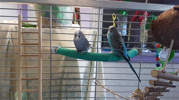 Jeckle - Budgie Bird - Exotic