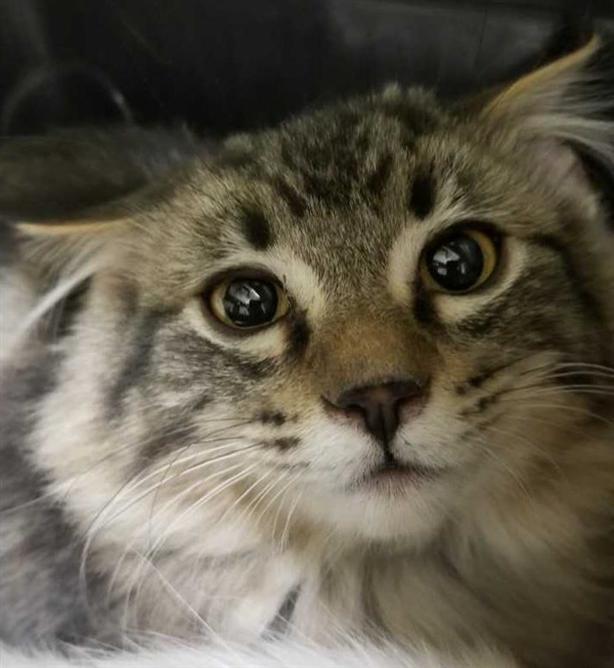 Scout - Domestic Medium Hair Kitten