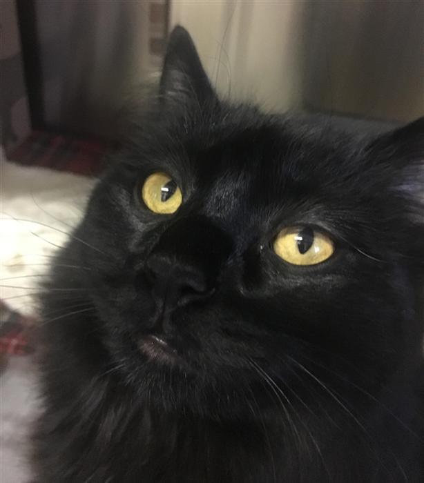 Albert - Domestic Longhair Cat