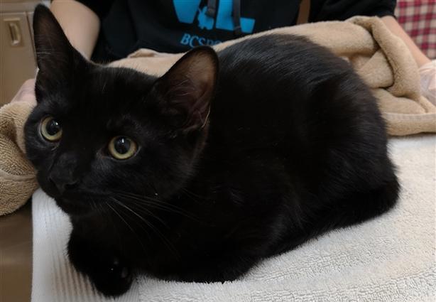 Leo - Domestic Short Hair Kitten