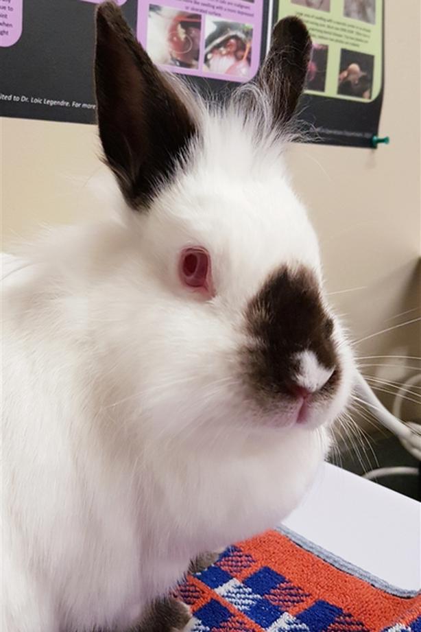 Scotia - Himalayan Rabbit