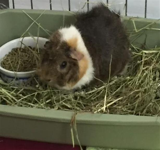 Napoleon - Guinea Pig Small Animal