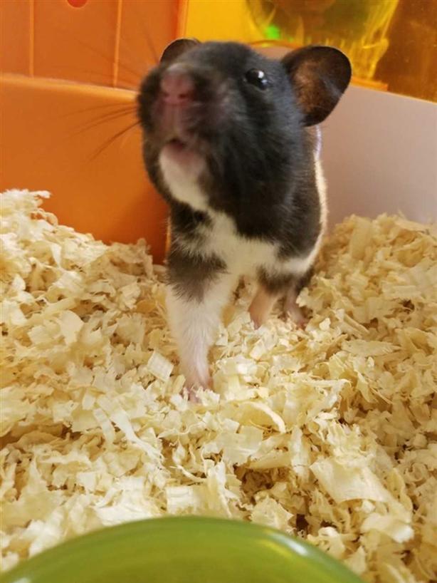 Clover - Hamster Small Animal