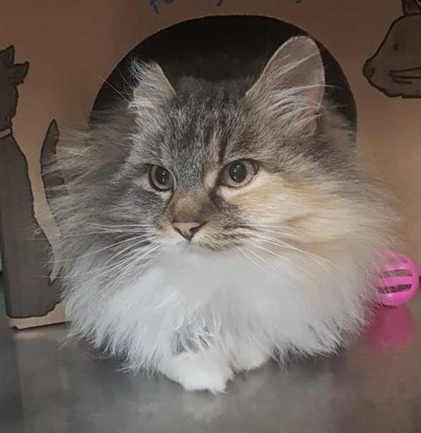 Kit Kat - Domestic Longhair Cat