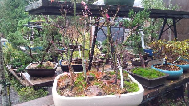 Japanese Maple Grouping