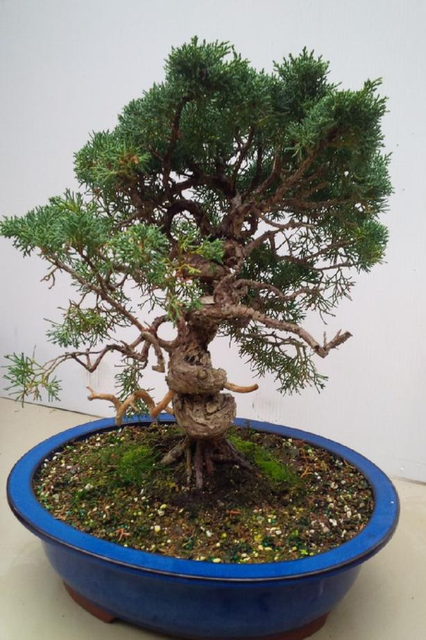 $395 · Shimpaku Juniper Bonsai Wiring Juniper Bonsai on wiring bonsai step by step, trim juniper bonsai, hollywood juniper bonsai, shaping juniper bonsai, chinese juniper bonsai, shimpaku juniper bonsai, wiring rosemary bonsai, starting juniper bonsai,