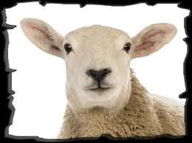 Professional Hoof Trimming services, goats,sheep,alpacas,llamas,mini pigs