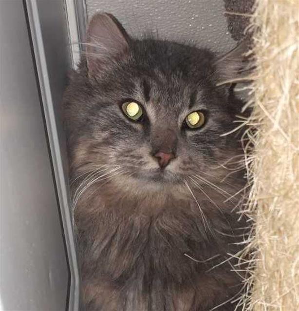 Harry - Domestic Longhair Cat