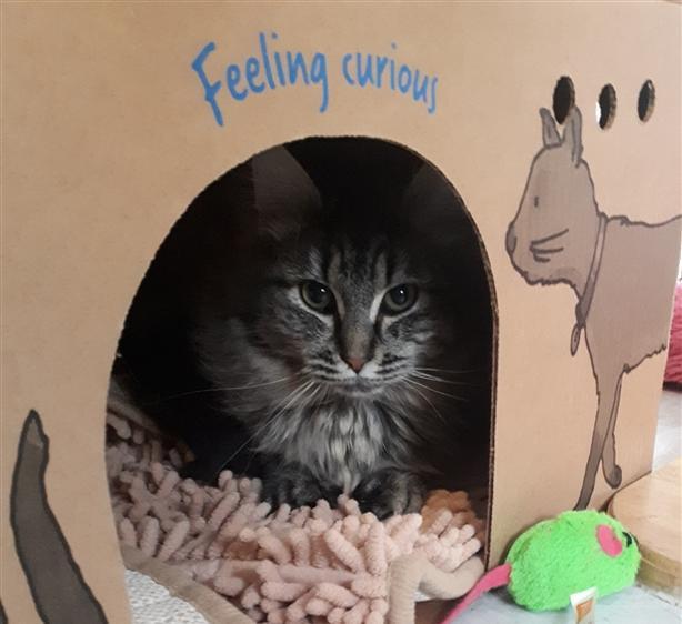 Harmony - Domestic Medium Hair Kitten
