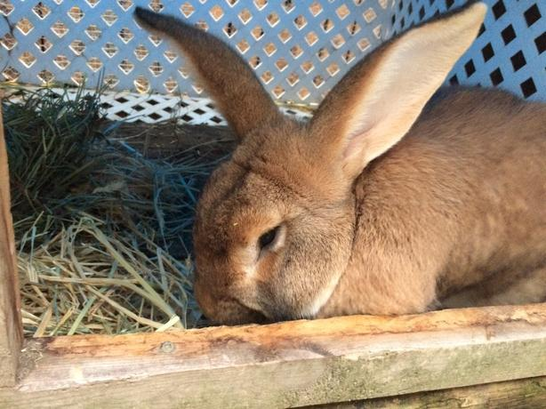Flemish Giant Rabbit Sooke Victoria Mobile