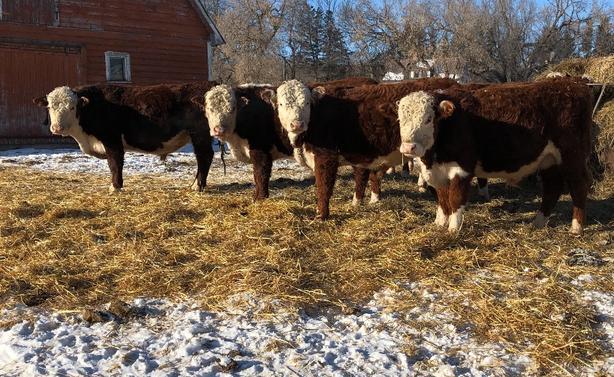 Purebred Polled Hereford Bulls Outside South Saskatchewan