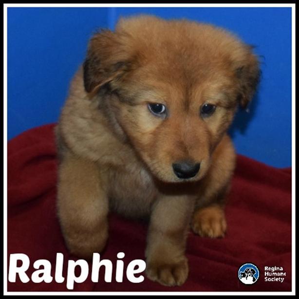 Ralphie* - Shepherd Puppy North Regina, Regina - MOBILE