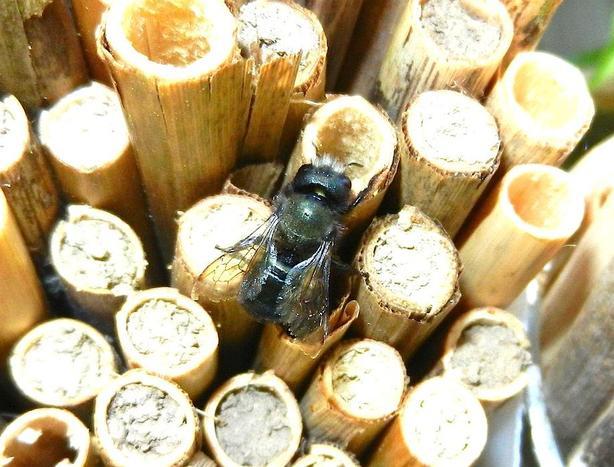 Mason Bee Cocoons and Phragmites natural reed grass tubes