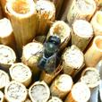 MASON BEE Cocoons and Phragmites natural reed grass tubes