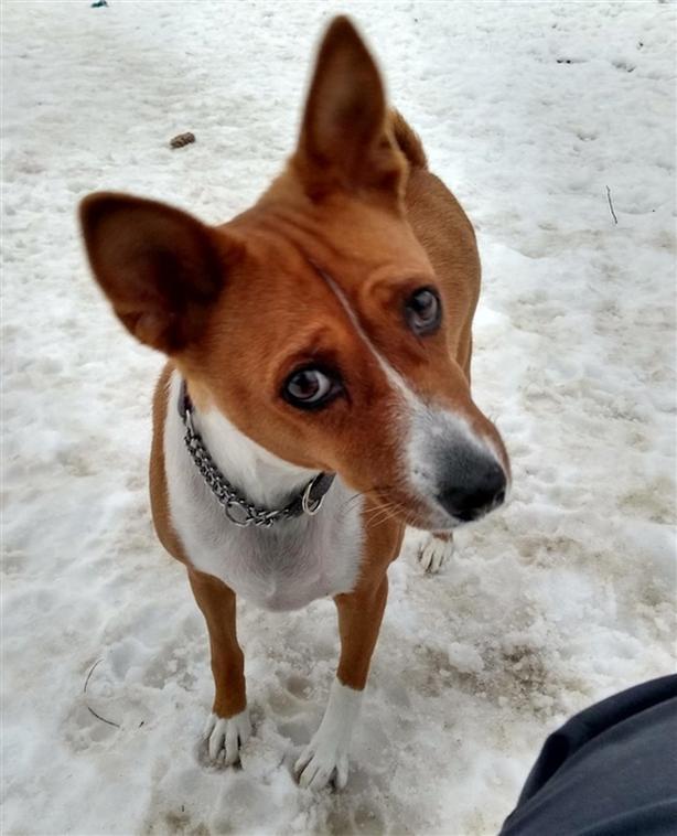 Zoe - Basenji Dog