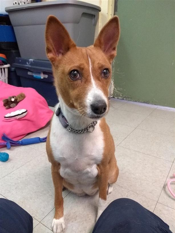 Zoe - Basenji Dog Vernon, Okanagan