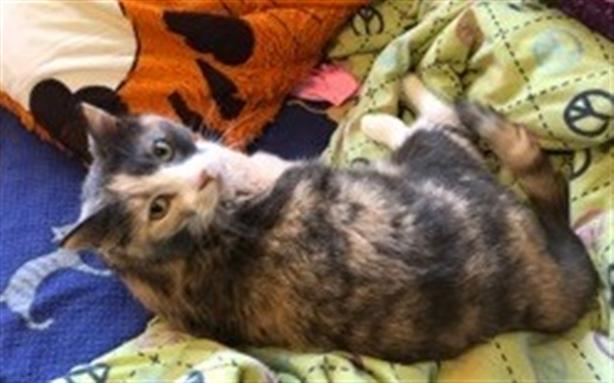 Beauty - Domestic Short Hair Cat
