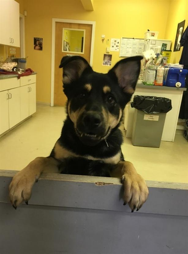 Sitka - Rottweiler Dog