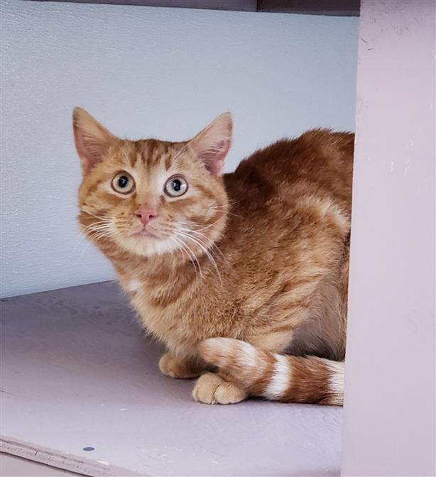 Pumpkin - Domestic Short Hair Cat