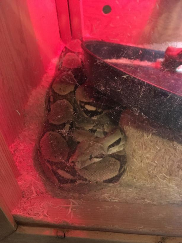 6ft BOA CONSTRICTOR with cage