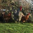 Stunning Barred Rock Roosters - Need Home ASAP