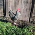 Barred Rock Roosters need a home ASAP