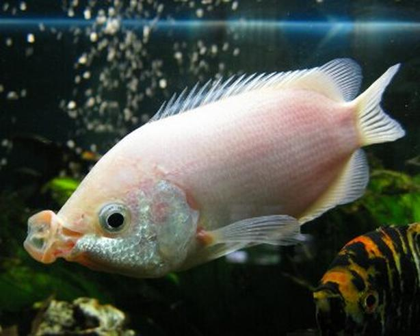 Kissing gourami (white )