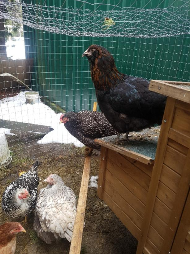 Heritage Pullets/1yr Hens