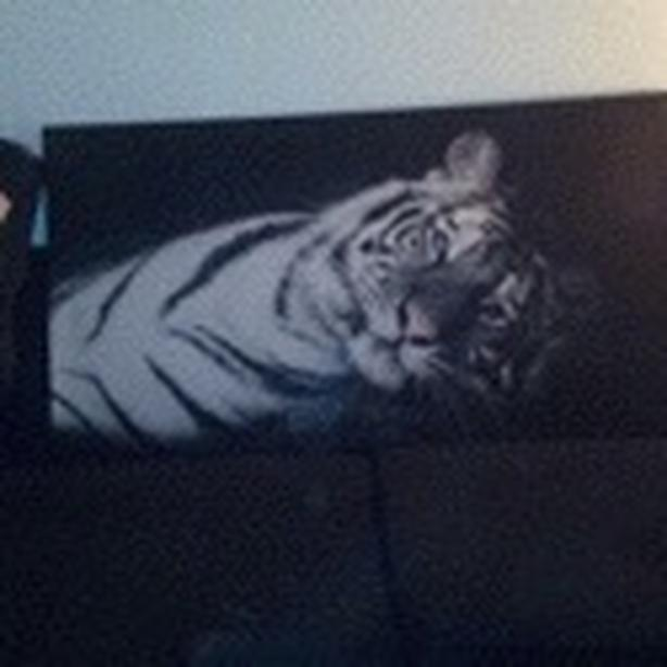 Tiger Print on Canvas Size Large width 52 inches 32 tall Mint Condition