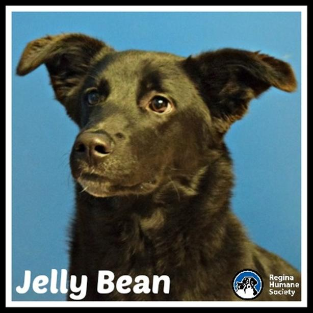 Jelly Bean* - Border Collie Dog North Regina, Regina