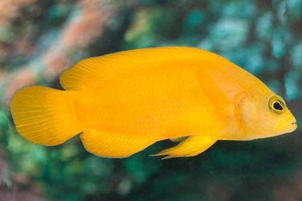 Yellow Dottyback (Saltwater)