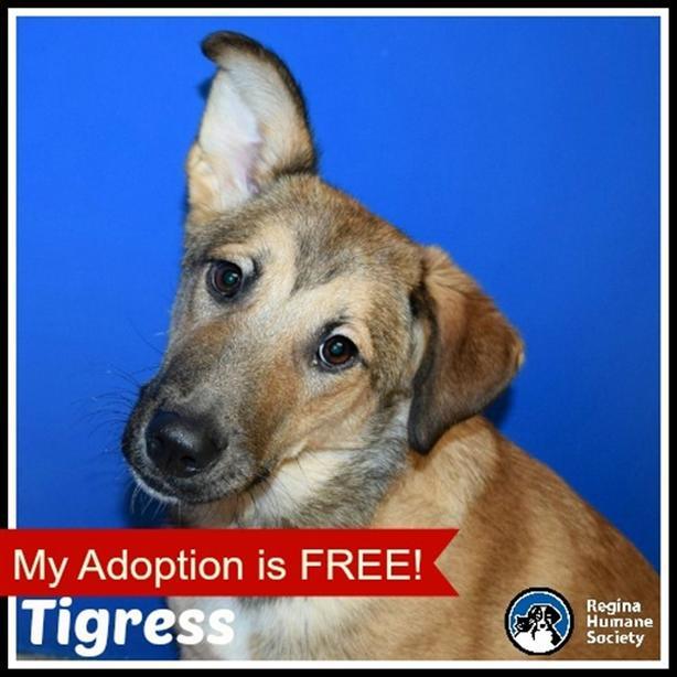 Tigress - German Shepherd Dog North Regina, Regina