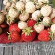 Hula Berry Strawberry Plants