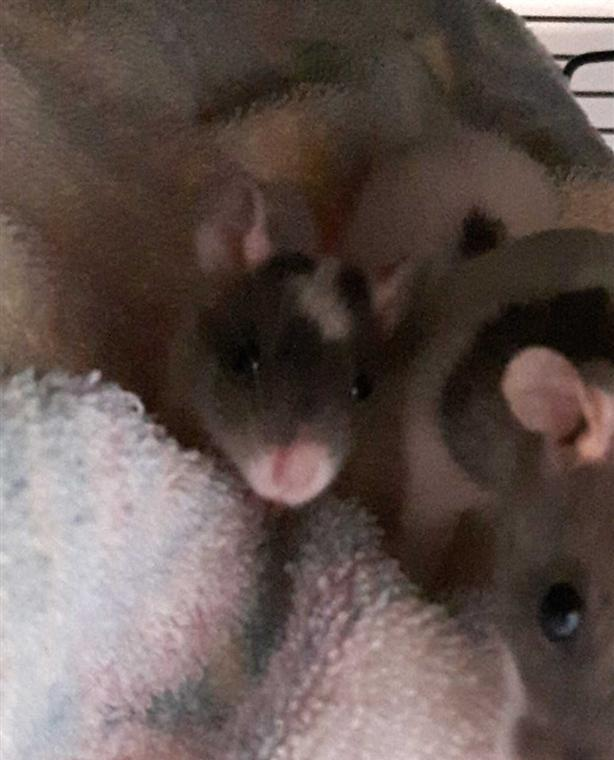 9 Janis - Rat Small Animal North Nanaimo, Parksville