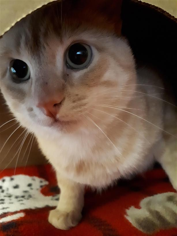 Pepper , Domestic Medium Hair Cat Maple Ridge (incl. Pitt