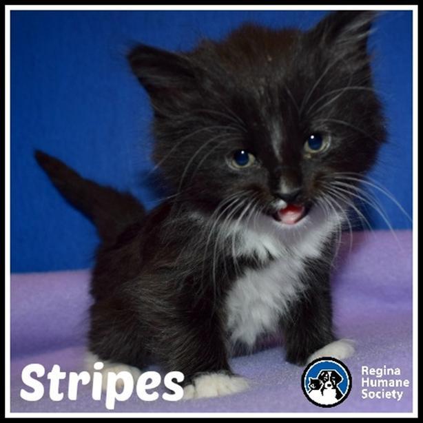 $195 · Stripes - Domestic Short Hair Kitten