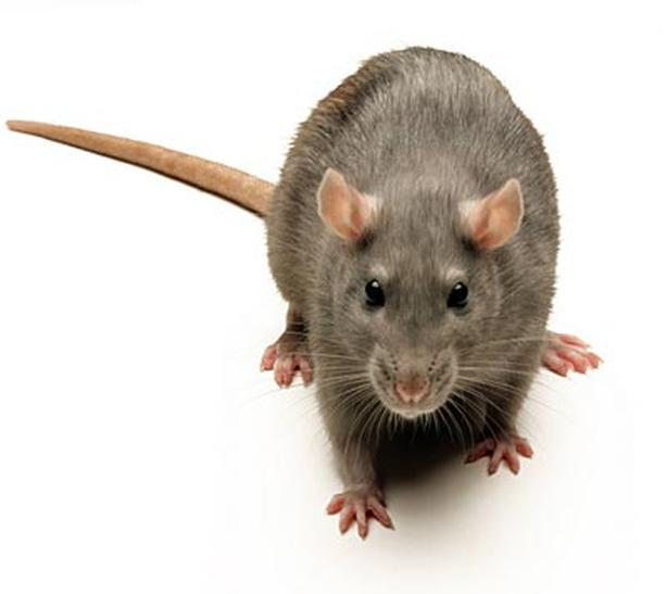RODENTS, MICE, RATS,VOLES GONE ORGANICALLY!