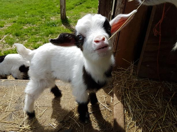 Purebred Fainting goat kids and Doe Outside Nanaimo, Nanaimo