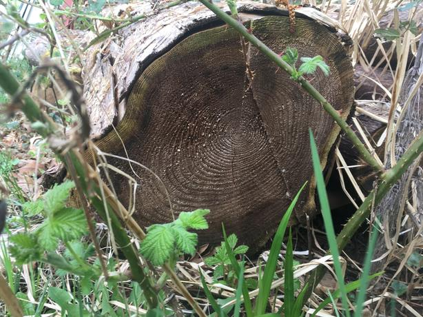 Cedar logs - woodworking