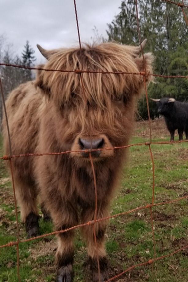 highland hiefer