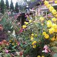 1 gallon perennial plants
