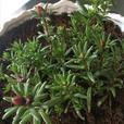 Portulaca Plant