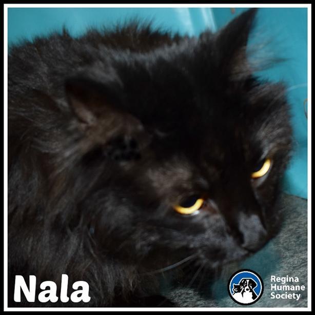Nala - Domestic Medium Hair Cat North Regina, Regina