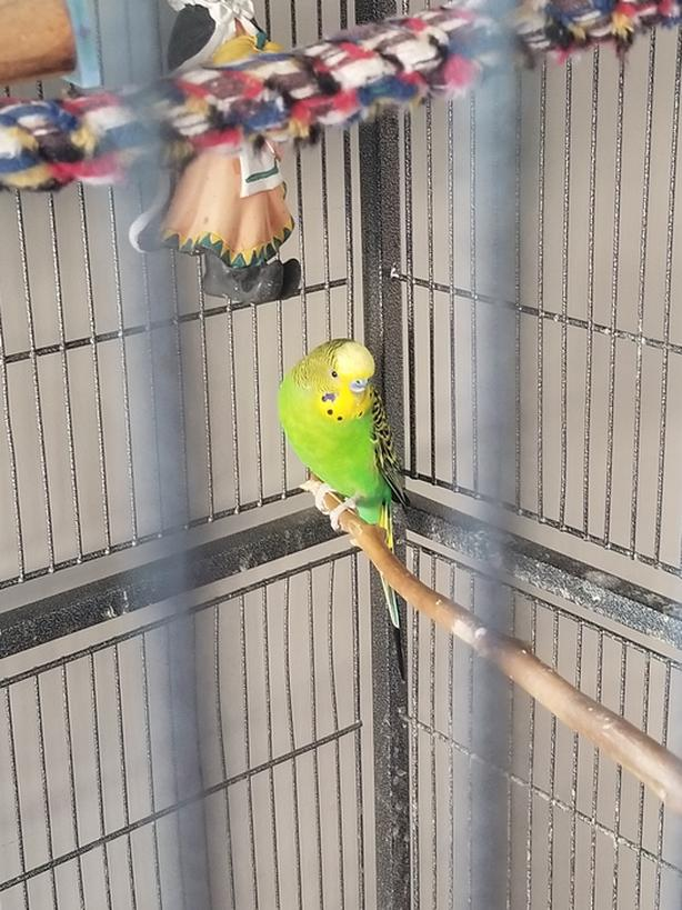 Free Beautiful Budgie!! Duncan, Cowichan - MOBILE