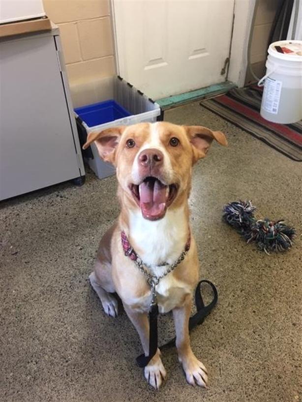 Spencer - Labrador Retriever Dog Parksville, Nanaimo