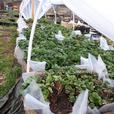 Mail Order Organic Probiotically Grown Everbearing Strawberry Plants