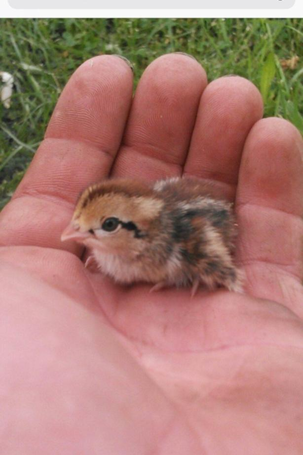 Wanted Baby Quail Chicks Saanich Victoria