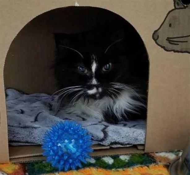 Lexi - Domestic Longhair Cat