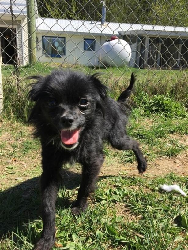 Dena - Long Hair Chihuahua Dog